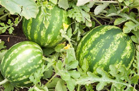 How To Plant Watermelon In A Garden by Growing Watermelons Bonnie Plants