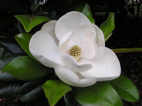 magnolia wallpaper wallpapers magnolia blossom