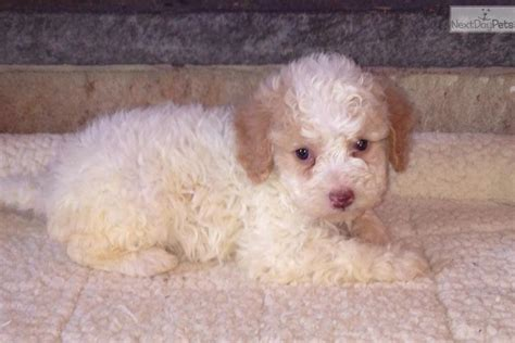 lagotto romagnolo puppies for sale meet a lagotto romagnolo puppy for sale for 2 200