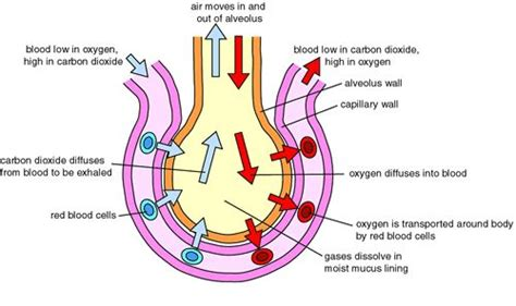 human gas exchange system diagram gases gas exchange in the lungs gas exchange and transport