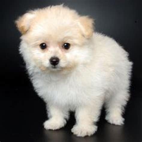 pomeranian poodle mix hypoallergenic our new pomapoo puppy named braidy hairstyles photos best