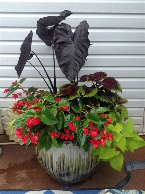 great container  shade elephant ear sweet potato vine