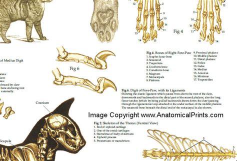 Devia Meccanism cat claws anatomy nhssc f7d31ee6c8fa