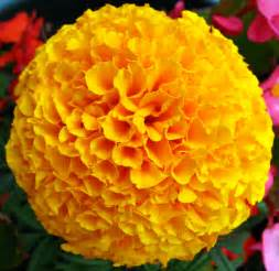 marigold color file yellow marigold flower jpg