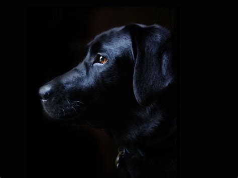 wallpaper black labrador black lab puppy wallpapers wallpaper cave