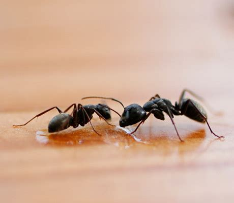 What Repels Ants In The Kitchen by Ants With Electronic Ant Repellent