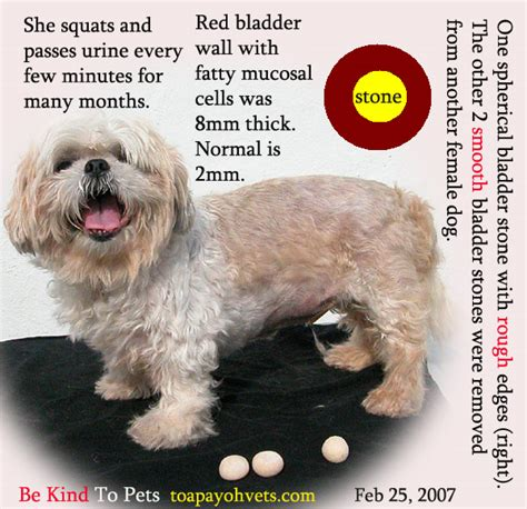shih tzu bladder infection 031208asingapore toa payoh veterinary vets cat rabbits hamster veterinarian