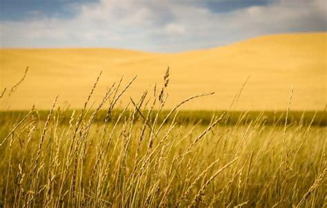 wallpaper grass field hill countryside stalks
