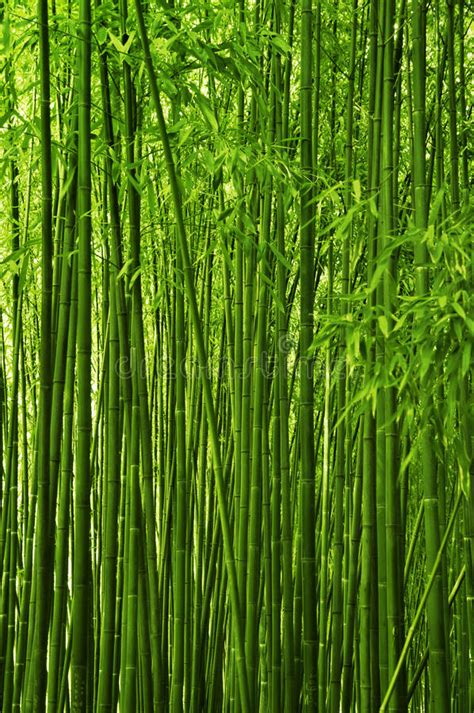 bamboo forest stock photo image  natural orient