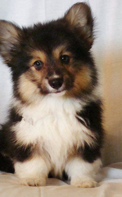 fluffy corgi puppies for sale 28 best images about corgis in fluffy coats on canada ontario