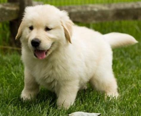golden retriever puppies in montana and golden retriever puppies available offer