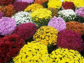 mums the word to live and die with chrysanthemums