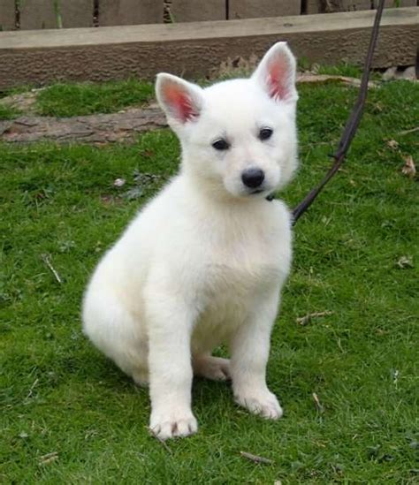 white german shepard puppy white german shepherd puppies for sale pets4you