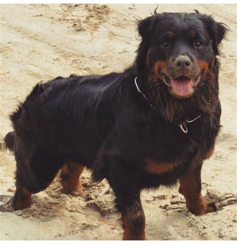 collie rottweiler mix beautiful rottweiler and collie mix pets nigeria