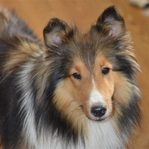 sheltie for sale healthy sheltie puppies for sale in delaware