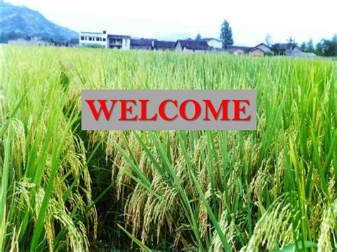 powerpoint themes rice ppt hybrid rice authorstream