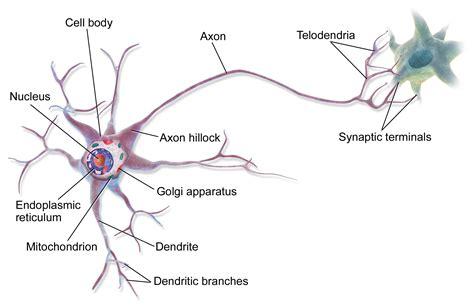 diagram of a brain cell neuron
