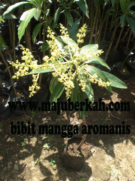 Bibit Cengkeh Sambung bibit mangga aromanis bibit tanaman mangga aromanis jual
