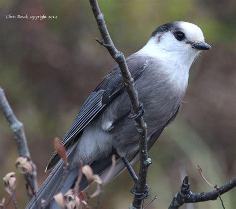 gray jay new england birds of new england com