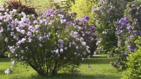 when to prune flowering shrubs how to prune flowering shrubs gardening