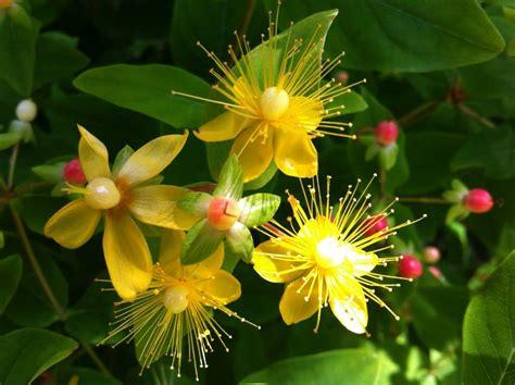 ipericum fiore hypericum flora 2000