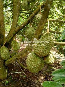 Harga Bibit Durian Bawor Terbaru terbaru wa 0813 2711 9234 durian bawor jambi durian