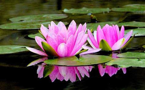 fior di lotto fior di loto piante acquatiche fior di loto