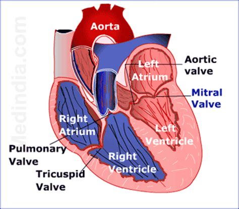 cross section of a heart understanding heart valves