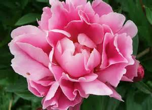 peony flowers flower picture gallery