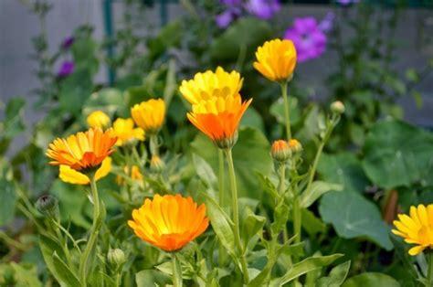 Garten Pflanzen Gegen Fliegen by Gartenpflanzen Mit Denen Ungeziefer Bek 228 Mpfen Und