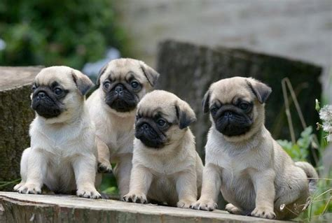 wallpapers of pugs 200 best images about pug wallpaper screensaver on a pug brindle pug and pug