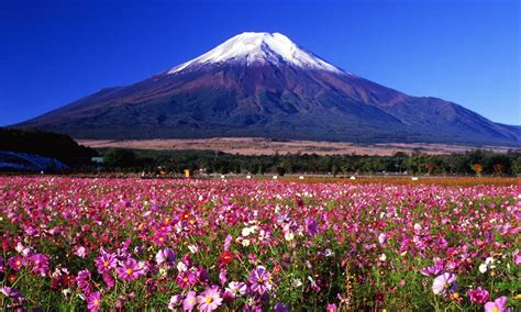 a field of cosmos flowers colorfully decorating the