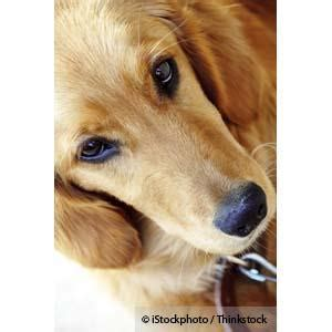 cancer free golden retriever breeders the golden retriever lifetime study is now open