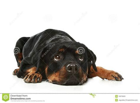 rottweiler sad sad rottweiler on a white background stock photos image 16976563
