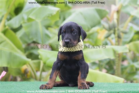 doberman puppies for sale chicago doberman pinschers for sale in alabama breeds picture