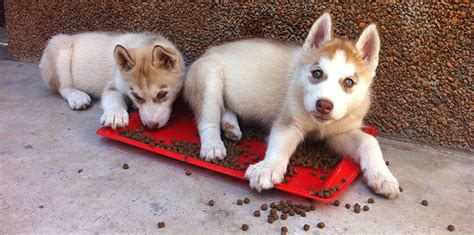 how to take care of a husky puppy siberian husky puppy health care food