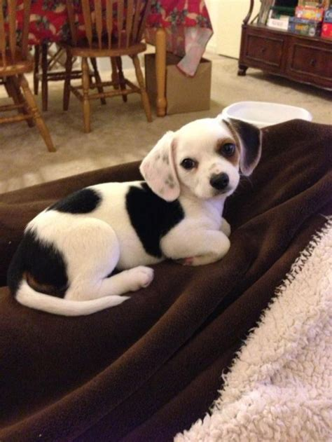 cheagle puppies for adoption 1000 ideas about beagle mix on dogs for adoption adoptable beagle and