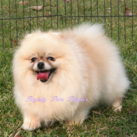 cheap pomeranian puppies for sale in louisiana yorkie puppies for sale in louisiana breeds picture