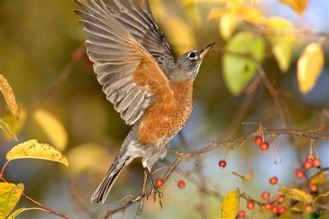 wild birds unlimited flocks of american robins