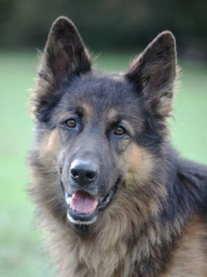 types of german shepherds different types of german shepherds german shepherd 101