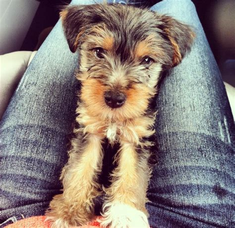 schnauzer poodle yorkie mix shorkie schnauzer and yorkie mix this is my precious baby cooper