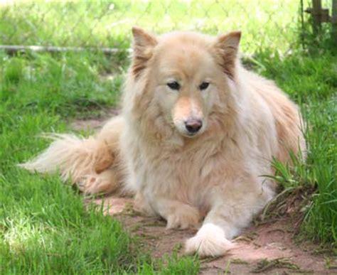 golden retriever hybrids golden retriever wolf hybrid quotes