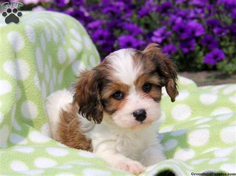 cavachon puppies for sale in pa 1000 images about cavachon puppies on