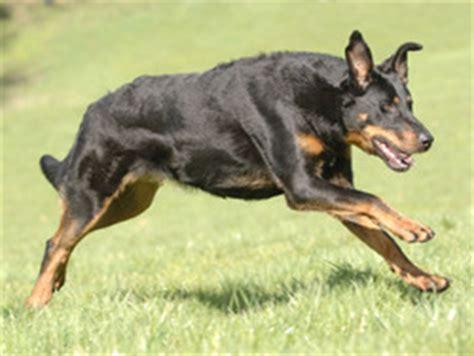 Beauceron : chien et chiot Beauce Shepherd, Berger de ...