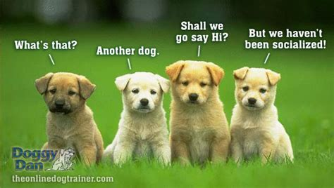 how to socialize a puppy doggydan 005 socializing a new puppy the when why where and how