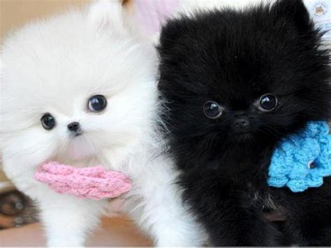 real puppies for free pomeranian puppies for sale call text 240 542 7487 patchogue ny patch