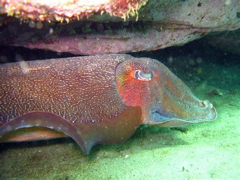 Australian Giant Cuttlefish | www.imgkid.com - The Image ...