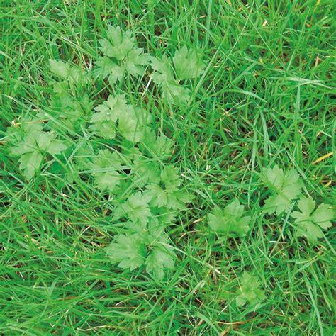 Unkraut Auf Dem Rasen 6790 by Compo Unkr 228 Uter Im Rasen