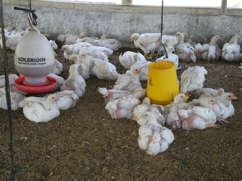 Vitamin Ayam Petelur Herbal terrace iboe