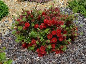 Miniature Shrubs That Flower - callistemon matthew flinders bottlebrush gardening with angus